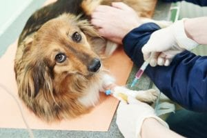 Pre-Anaesthetic Blood Testing for Dogs